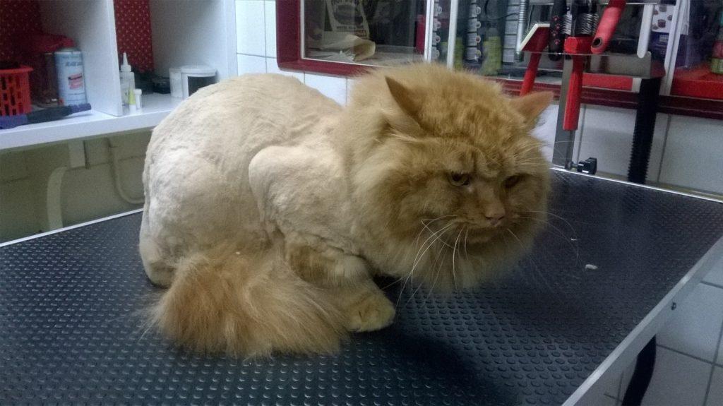 Katten scheren zonder narcose